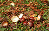"Chestnuts by <a href=""http://www.photographycorner.com/forum/member.php?u=11850"">Kot</a>"
