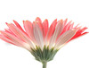"Gerbera Daisy by <a href=""http://www.photographycorner.com/forum/member.php?u=10083"">Tj_Delikat</a>"