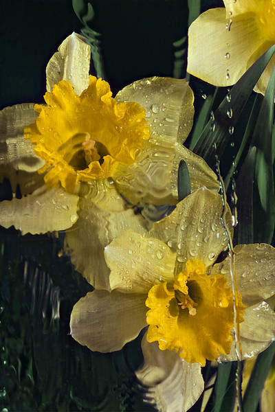 "Daffy Rain by <a href=""http://www.photographycorner.com/forum/member.php?u=10359"">crystalpics</a>"