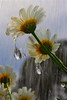 """Daisy Drop by <a href=""""http://www.photographycorner.com/forum/member.php?u=2328"""">stopher58</a>"""