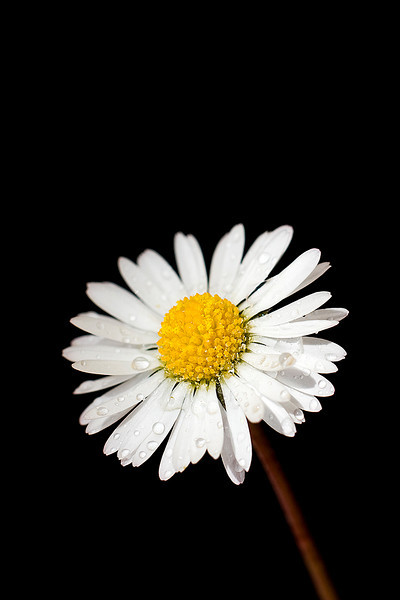 "Spring Daisy by <a href=""http://www.photographycorner.com/forum/member.php?u=6164"">Oneof42</a>"