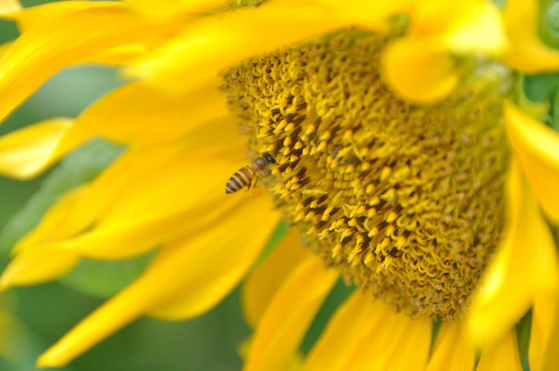 "Sunflower Bee by <a href=""http://www.photographycorner.com/forum/member.php?u=8885"">George.aikara</a>"