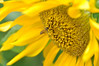 "Sunflower Bee by <a href=""http://www.photographycorner.com/forum/member.php?u=8885"">George.aikara</a>"