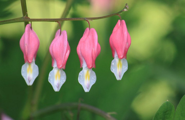 "Bleeding Hearts by <a href=""http://www.photographycorner.com/forum/member.php?u=17114"">alm1727</a>"