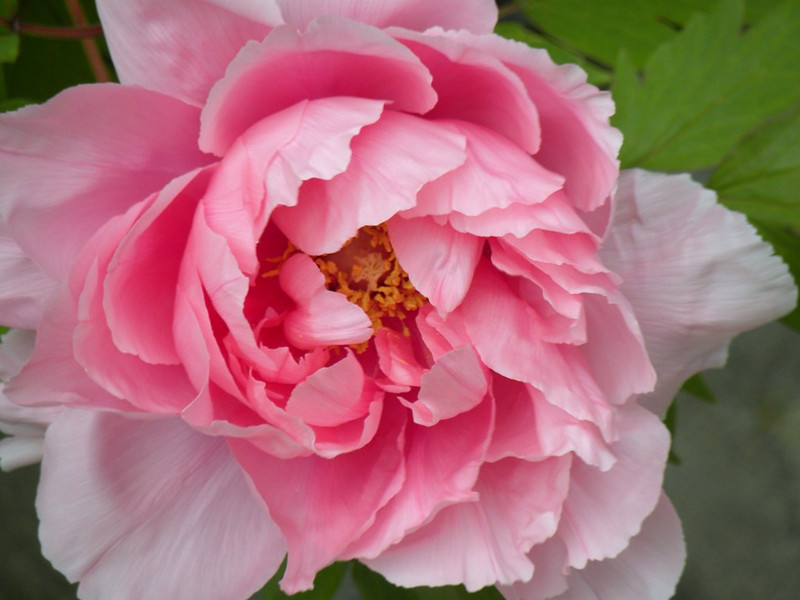 "Spring Japanese Tree Peony Bloom by <a href=""http://www.photographycorner.com/forum/member.php?u=16751"">arbor</a>"
