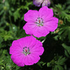 "Pink Flowers by <a href=""http://www.photographycorner.com/forum/member.php?u=14030"">Scott W</a>"