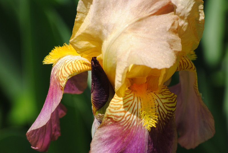 "Heavenly Iris by <a href=""http://www.photographycorner.com/forum/member.php?u=14712"">uvaclt88</a>"