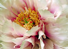 "A Peony Grows in Brookly by <a href=""http://www.photographycorner.com/forum/member.php?u=16170"">valencia2868</a>"