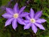 "Clematis by <a href=""http://www.photographycorner.com/forum/member.php?u=2387"">Tlemetry</a>"
