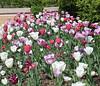 "Tulip Path by <a href=""http://www.photographycorner.com/forum/member.php?u=16563"">nursechica</a>"
