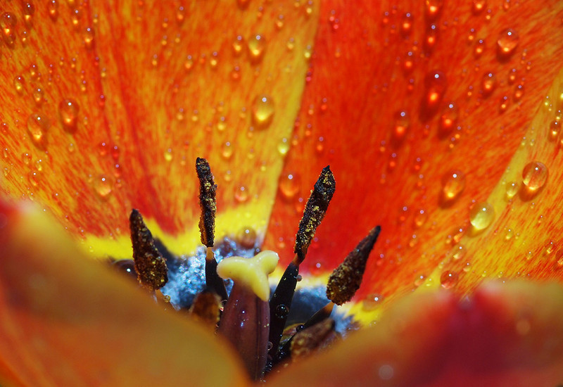 "The Heart of a Tulip by <a href=""http://www.photographycorner.com/forum/member.php?u=17200"">rfowler</a>"