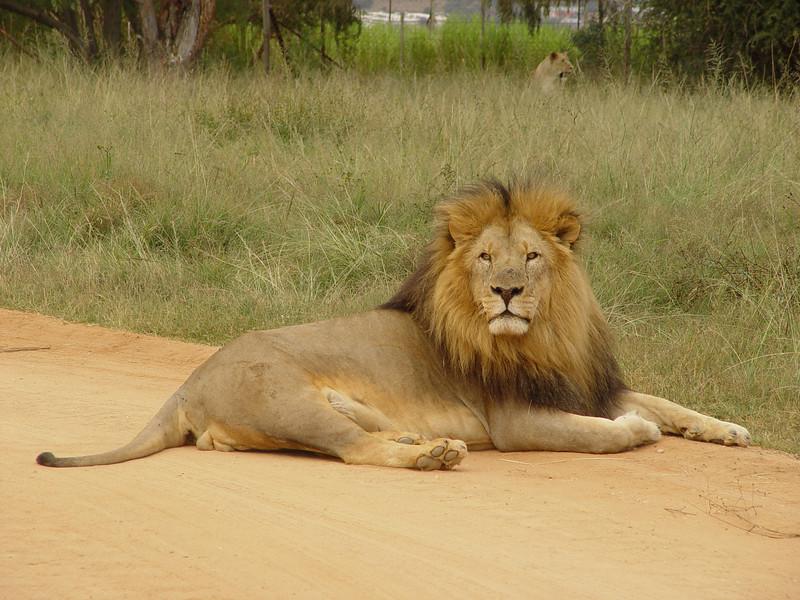 Original Photo - Lion