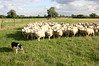 "CCC78-05 - Sheep Outwit Dog by <a href=""http://www.photographycorner.com/forum/member.php?u=11993"">Babs</a>"