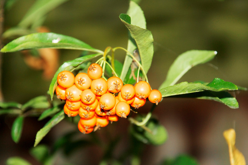 CCC79-29 - Berries in Orange by BlossomPot