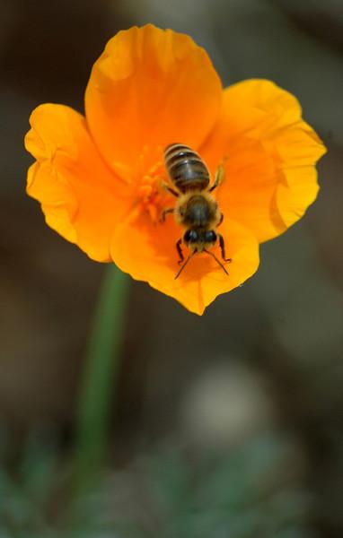 CCC79-31 - Beeutiful Poppy by dd4eva