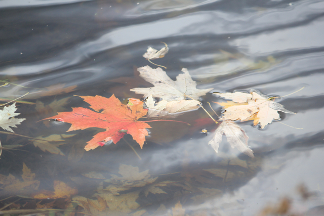 CCC79-07 - Water Leaf by LibraryLady914