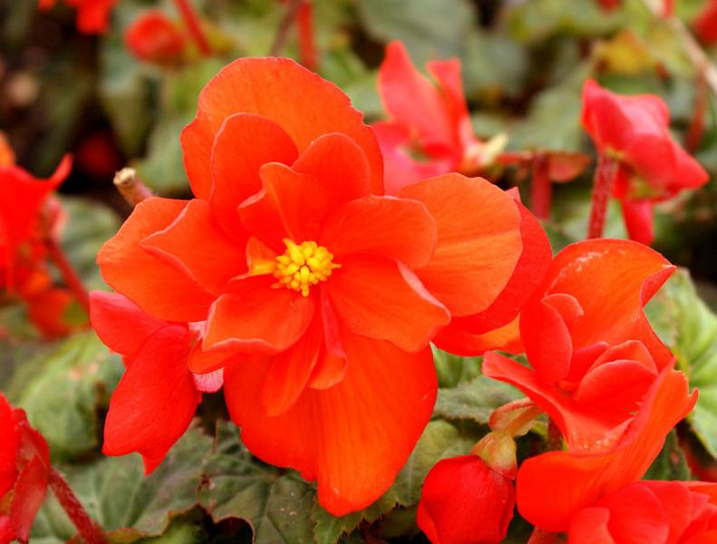 CCC79-03 - Orange Flower by abs1118