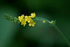 CCC89-05 - Agrimony by Andree