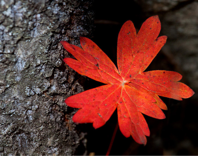 CCC91-27 - Red Leaf by jim3584