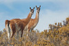 CCC95-17 - Guanacos in Creosote Bush by tamara