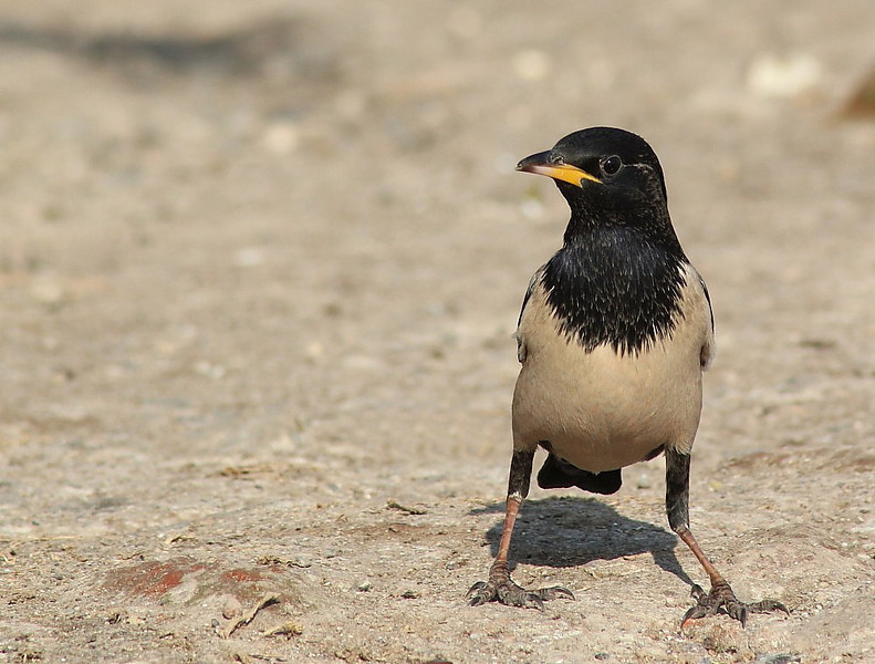 CCC95-15 - Juvenile Rosy Starling by Bhavya