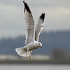CCC95-04 - Seagull in Flight by william88