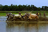 CCC97-18 - Cow Race