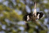 CCC97-16 - Diving Bird