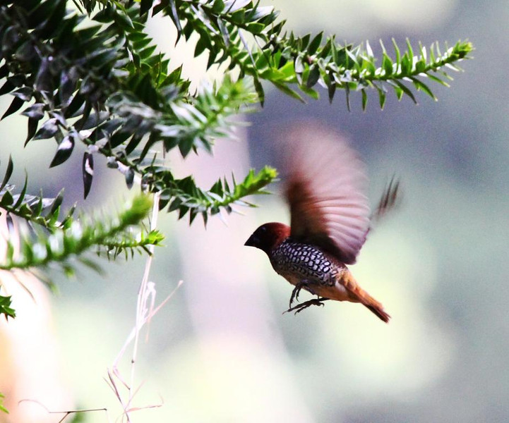 CCC97-43 - Scaly Breasted Munia in Mid Air