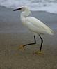 CCC97-42 - Dancing Snowy Egret