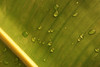 CCC98-36 - Water Drops on a Banana Leaf