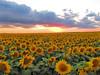 CCC99-18 - Sunflower Skies