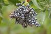 Before Elderberry Winy by Fleas