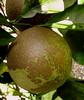 Florida Oranges? by wannabephotobug