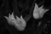 Tulipani by stego