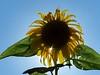 Sunflower Silhouette by conke1999