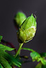 """From Bud to Passionate Bloom (Before) by <a href=""""http://www.photographycorner.com/forum/member.php?u=10359"""">crystalpics</a>"""