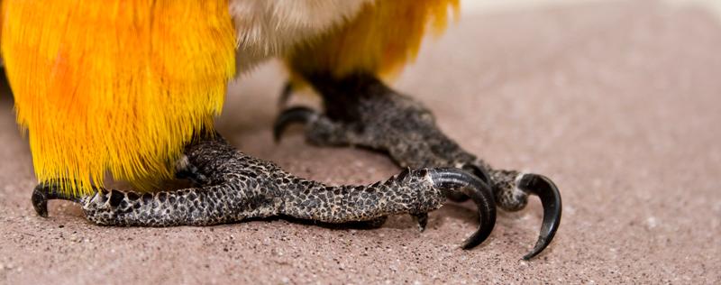 Pidgeon Toed