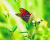 Description - Gulf Fritillary Butterfly <b>Title - Gulf Fritillary</b> Honorable Mention <i>- Joe Silvia</i>
