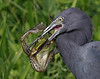 Description - Little Blue Heron with Pig Frog <b>Title - Little Blue with Little Green</b> Best in Show <i>- Curt Dalton</i>