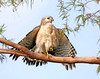 Description - Red Shouldered Hawk <b>Title - Red Shouldered Hawk</b> Honorable Mention <i>- Eugene Sinnema</i>