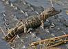 Description - Baby Alligator <b>Title - Baby Alligator</b> Honorable Mention <i>- Tom Rasmussen</i>