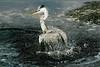 Description - Great Blue Heron <b>Title - Splish Splash</b> 1st Place <i>- Tom Billman</i>