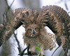 Description - Great Horned Owlet <b>Title -  Great Horned Owlet</b> 2nd Place <i>- Jeff Shulman</i>