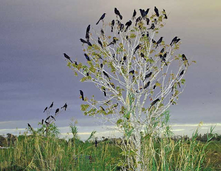 Description - Common Grackles in Trees <b>Title - Blackbird Tree</b> 1st Prize <i>- Michael Raiman</i>