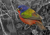 Description - Male Painted Bunting with Seed <b>Title - Another B&W Morning</b> 1st Place <i>- Michael Wolf</i>