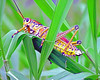 Description - Lubber Grasshopper <b>Title - Lubber Caterpillar</b> <i>- George Berman</i>