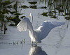 Description - Great Egret <b>Title - Early Morning Feeding</b> <i>- William Clifton</i>
