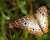 Description - White Peacock Butterfly <b>Title - Golden Wings</b> <i>- Adrienne Bergen</i>