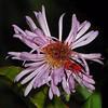 Description - Immature Kissing Bug on Climbing Aster <b>Title - Hemiptera on Purple Flower</b> <i>- Kathleen Fosselman</i>